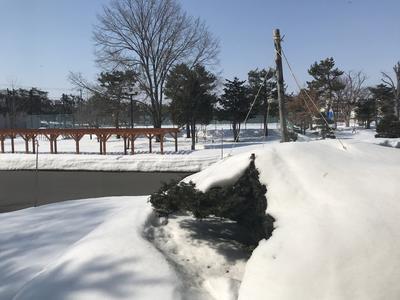 オンコの雪どけ